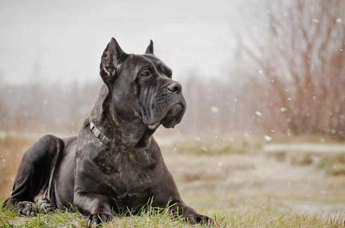 Порода собак Кане Корсо описание