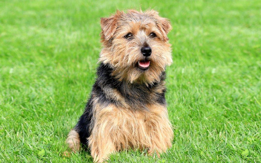 порода собак норфолк-терьер