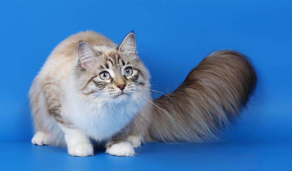 Рагамаффин кошки