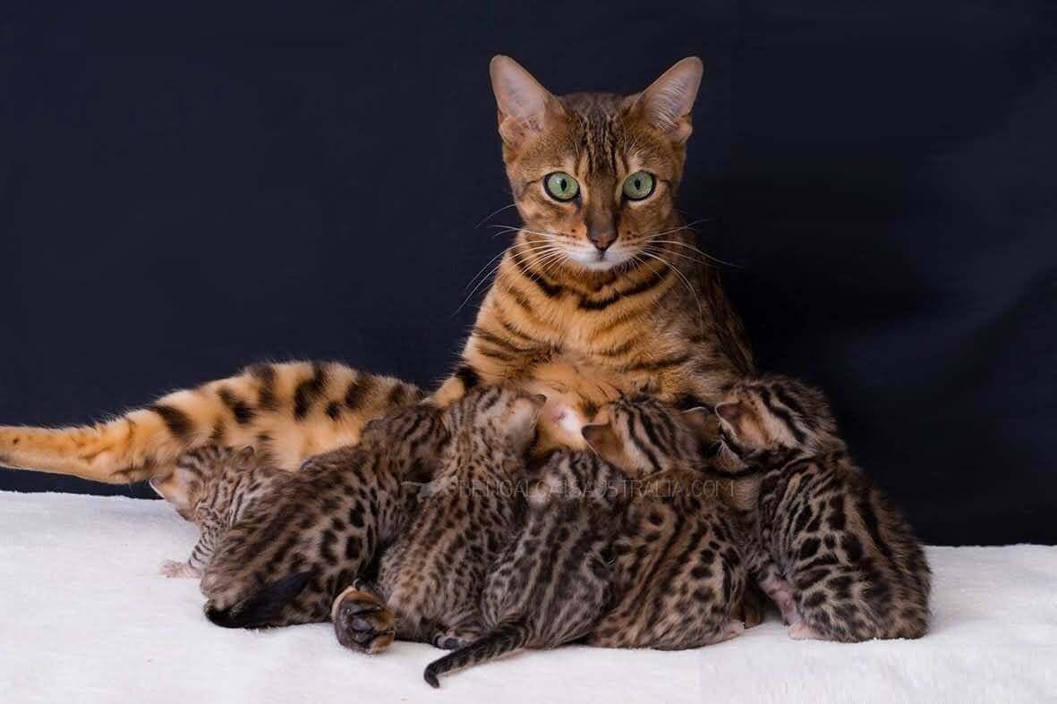 Кошка золотистая шиншилла описание породы