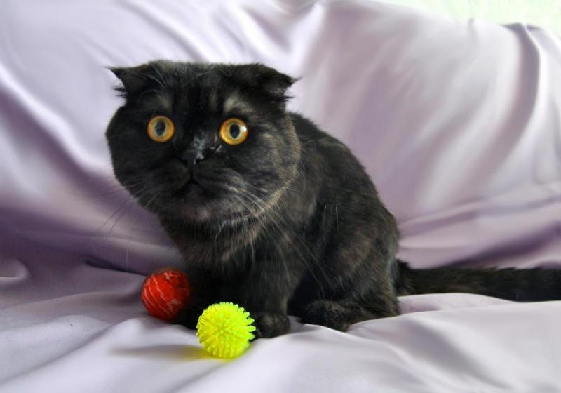 Шотландские кошки черный дым