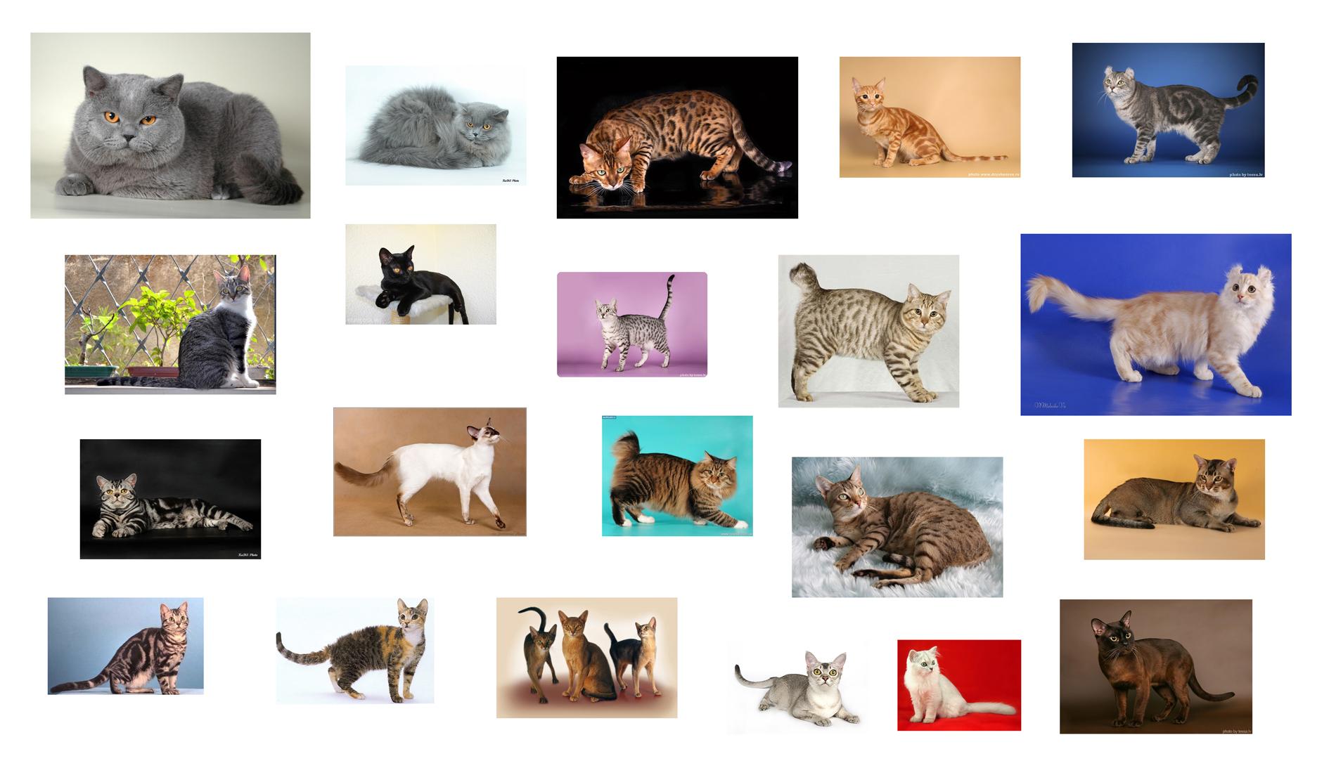 Сколько пород кошек существует на Земле