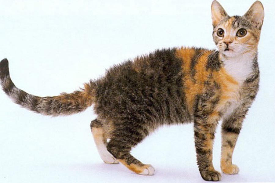 Американская жесткошерстная кошка описание породы