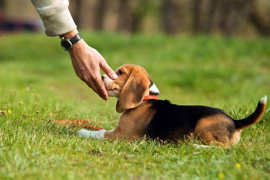Дрессировка и воспитание щенка