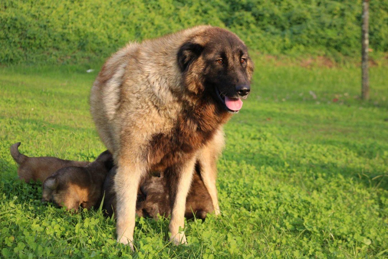 Эштрельская овчарка собака