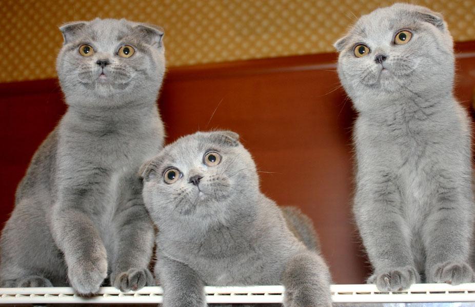 Как определить котят шотландской породы по фото