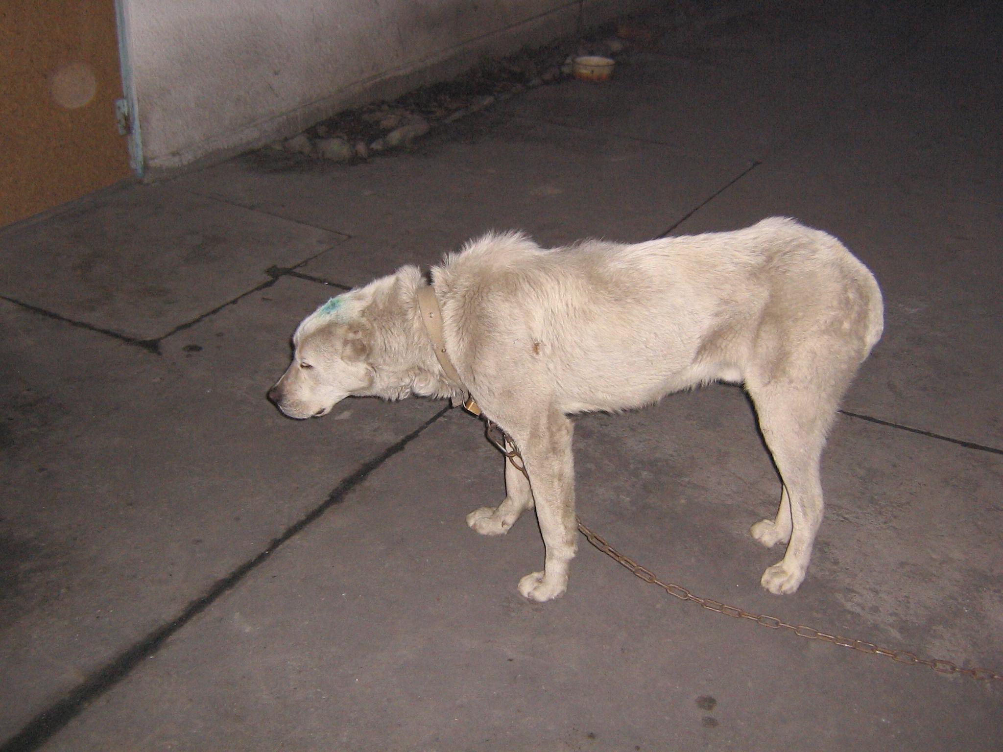Признаки чумки у собак первые симптомы и лечение