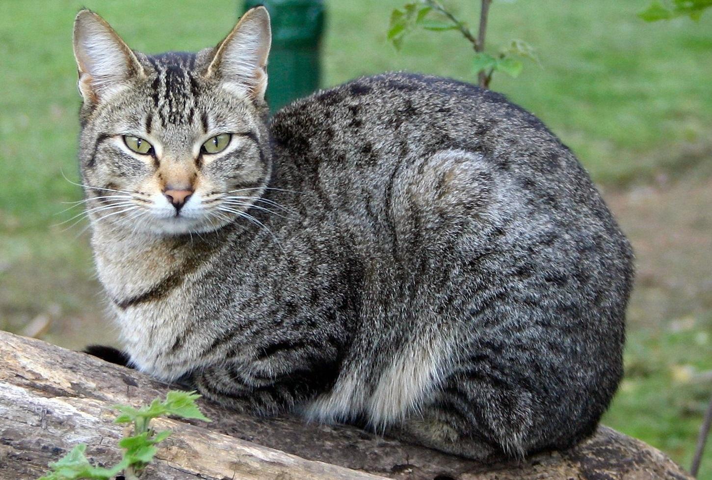 содержание беспородных кошек