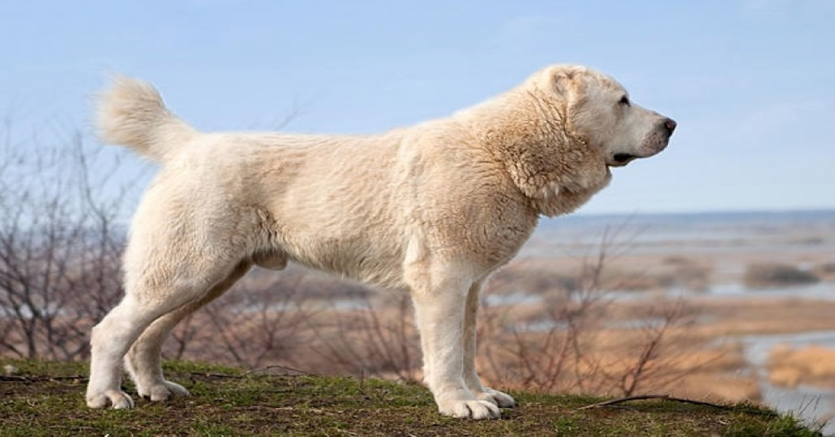 Среднеазиатская овчарка характеристика породы