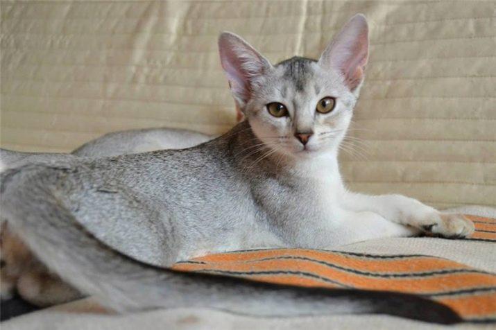 Абиссинская голубая кошка