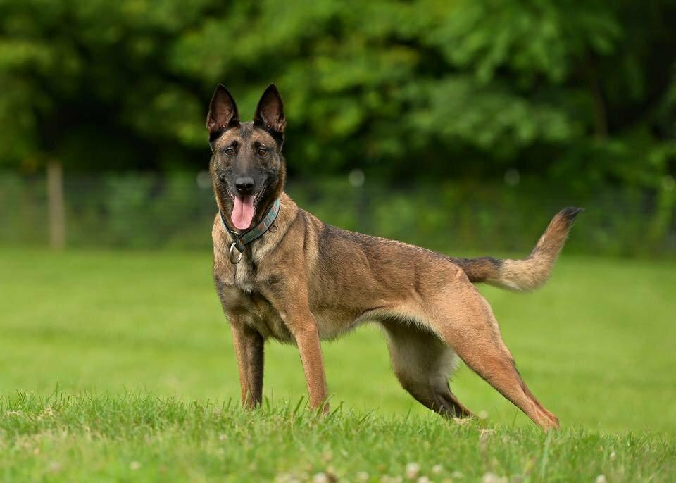 Бельгийские породы собак из Бельгии