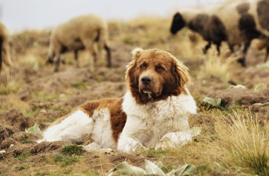 Болгарская овчарка
