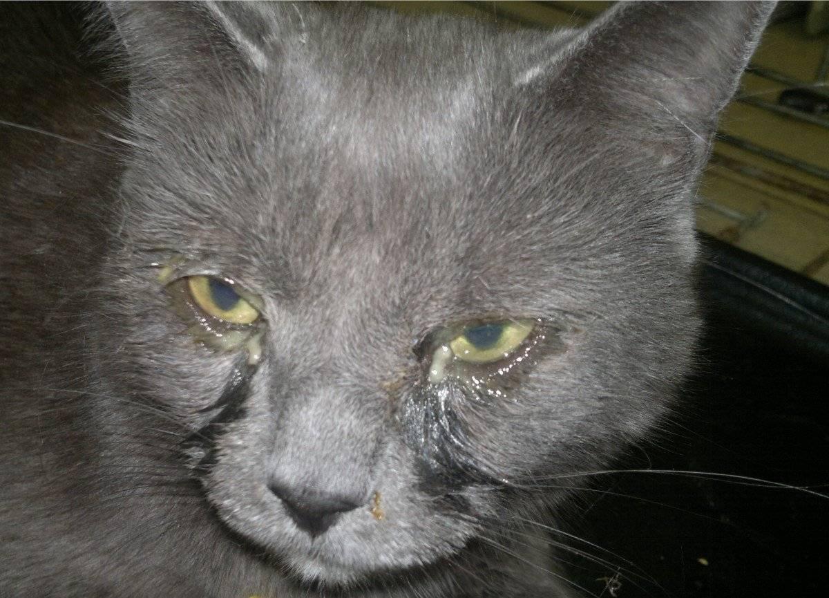 Что делать если кошка чихает слезятся глаза