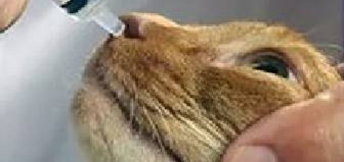 Как вылечить насморк кошке в домашних условиях