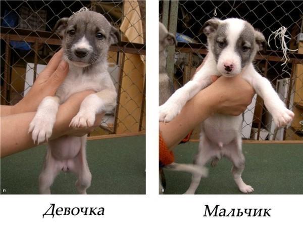 Какой пол собаки выбрать
