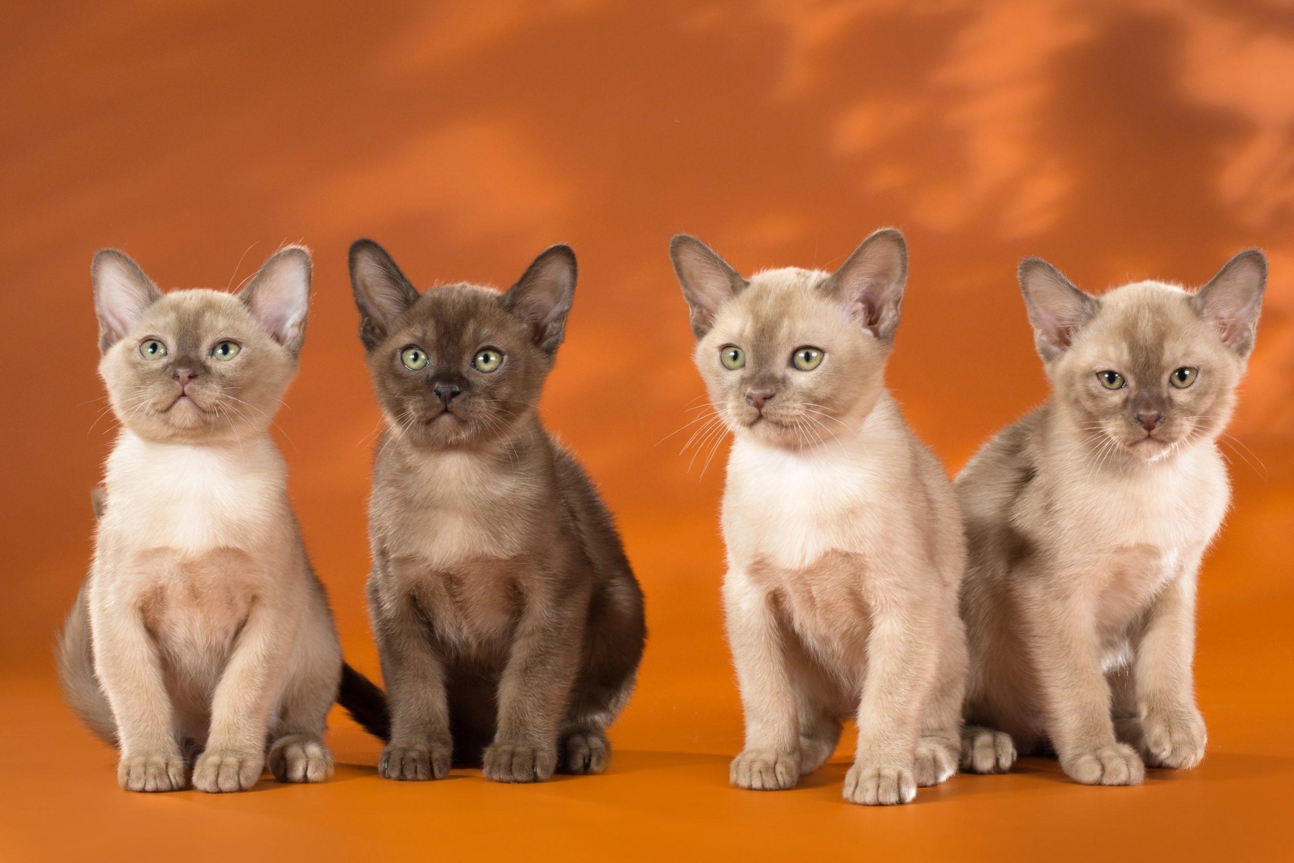 Котята породы бурма описание породы