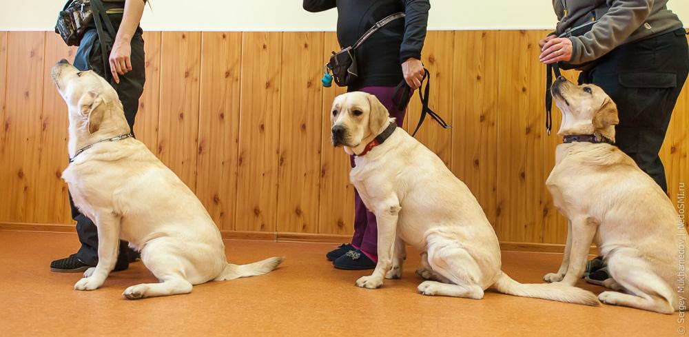обучения собак поводырей