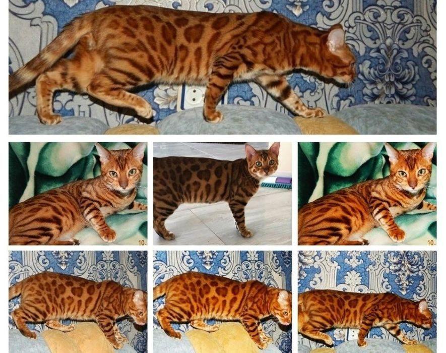 Окрасы бенгальской кошки