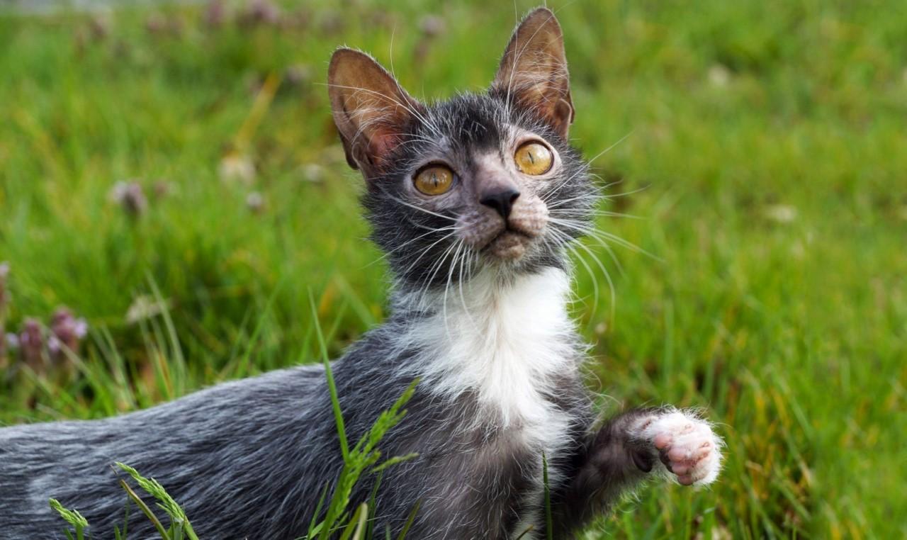 Порода кошек Ликой