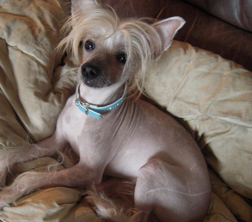 Порода лысых собак с челкой