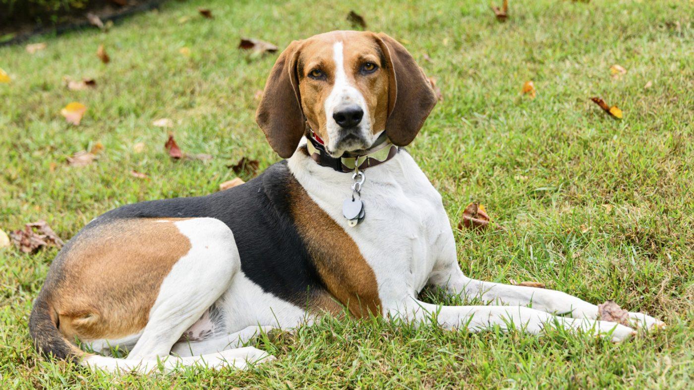 Порода Собак Американский Фоксхаунд
