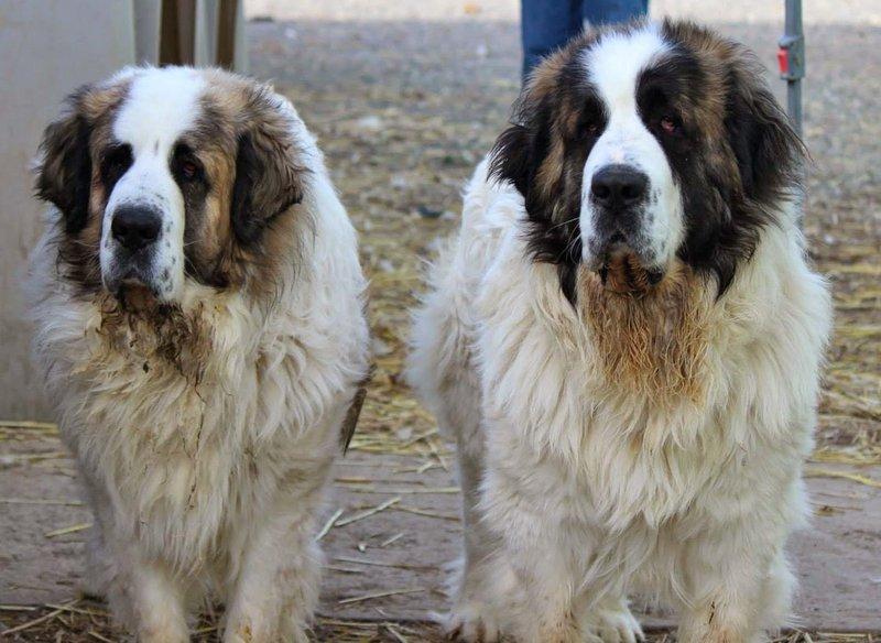 породы пятнистых собак