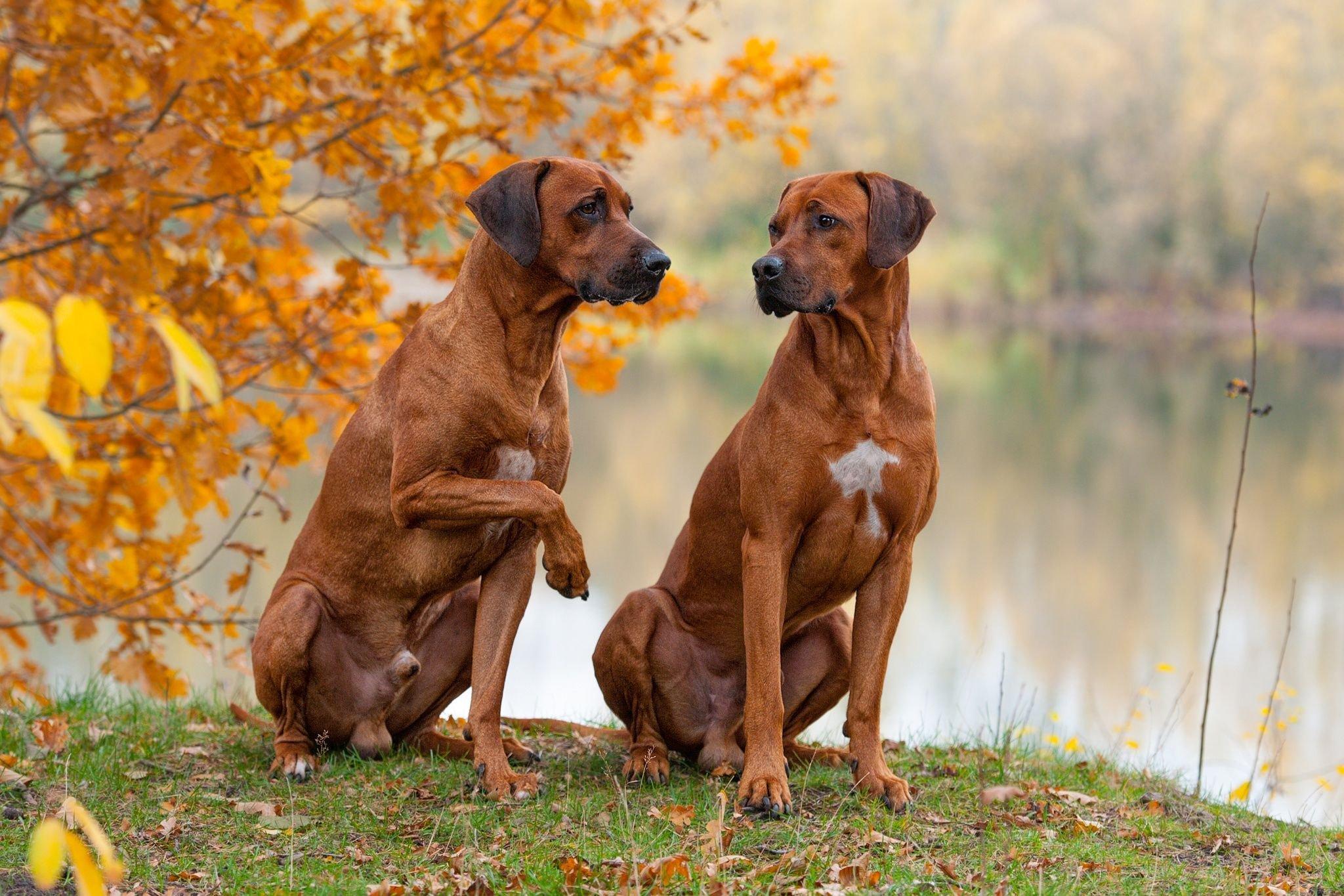 Родезийский риджбек все о собаке