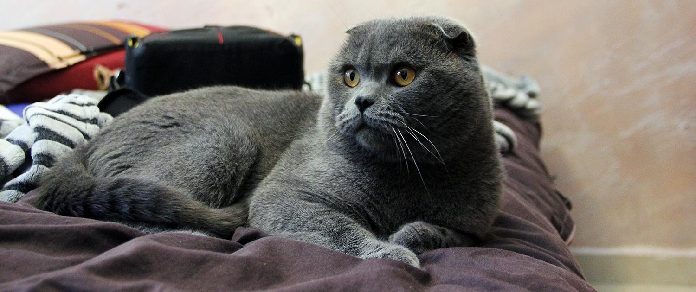 Сколько живут шотландские вислоухие кошки