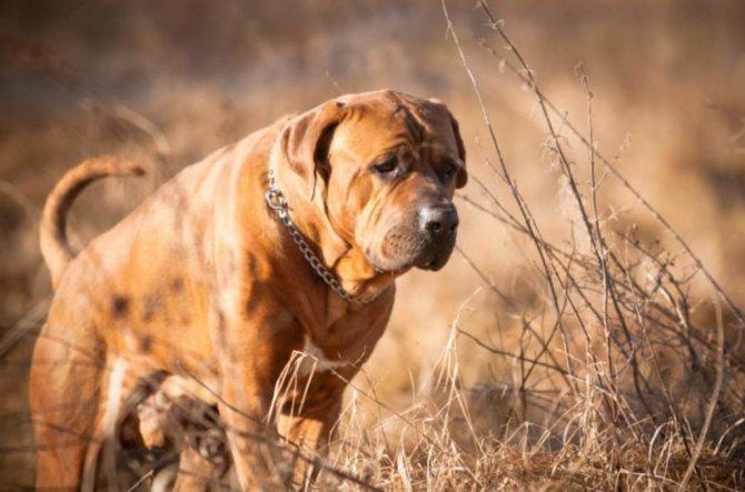 Тоса-ину японская бойцовая собака