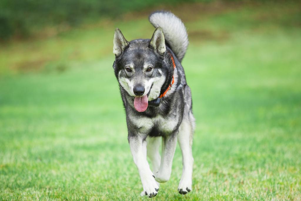 Ямтхунд порода собак