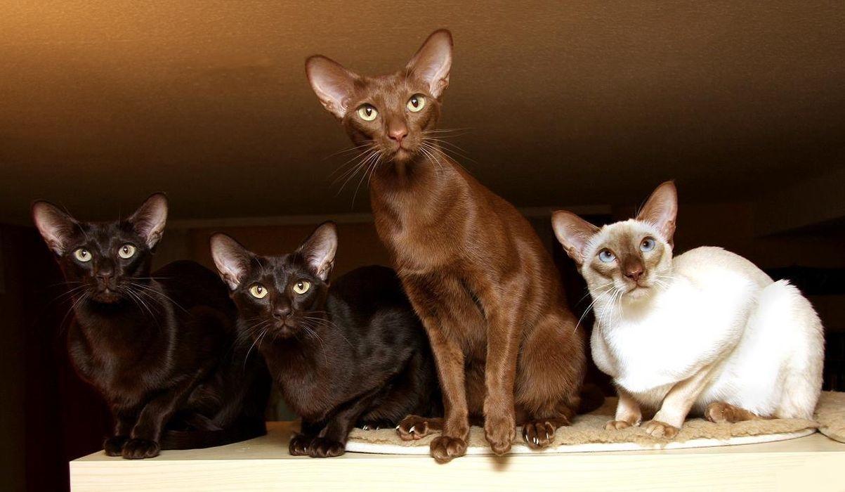 Яванская кошка описание породы